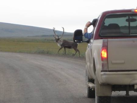 """We stopped to take some pictures and this caribou crossed right in front of us,"" reported Brad Stefano (CH2M HILL safety manager), who snapped these shots."