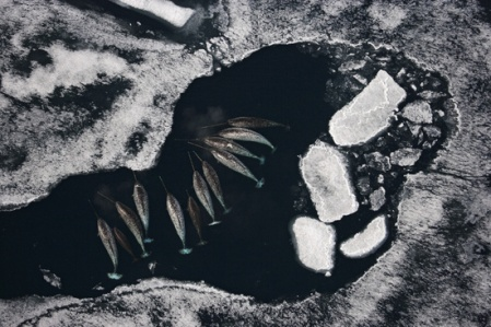 Aerial photo shows a pod of narwhal amidst pack ice. Photo: Paul Nicklen/National Geographic Image Collection