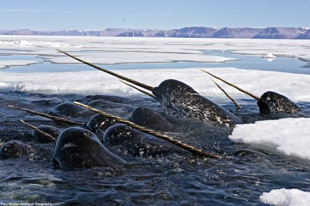 Male narwhals seem to use their tusks for play in these social groups. Photo: Paul Nicklen. Read the field notes page of the feature to find out how it felt to stand, freezing, among the pack ice waiting for a photo op.