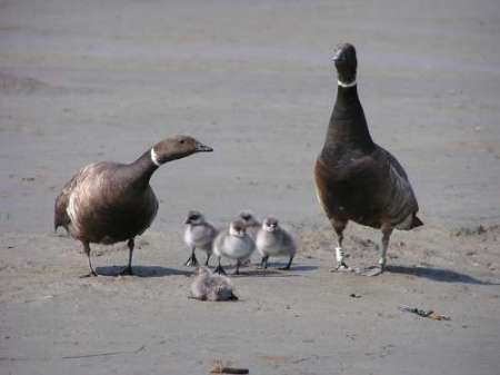 A Pacific brant family on the Yukon-Kuskokwim Delta, Alaska. Photo: Jeff Wasley, courtesy U.S. Geological Survey