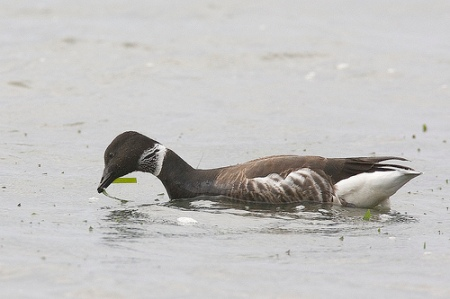 A brant goose feeds on eelgrass. Photo: Mike Baird